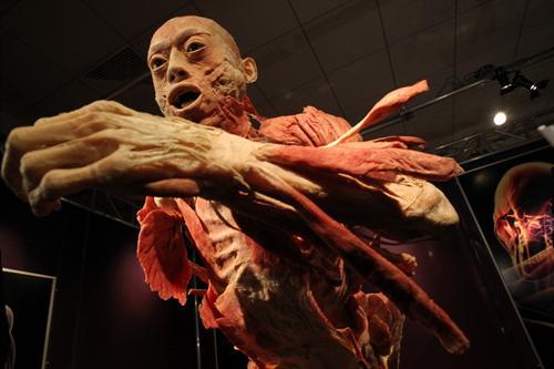Тайны тела, экспонат, человек в разрезе
